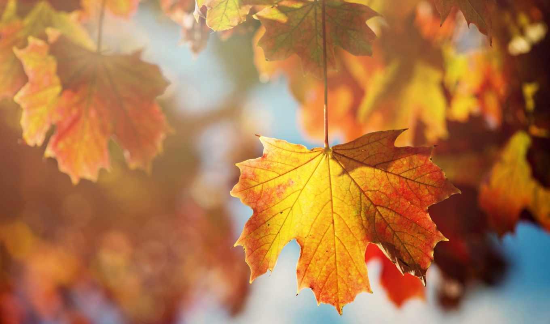 листья, оранжевые, дерево, осень, лист, картинку, картинка, кнопкой, мыши,