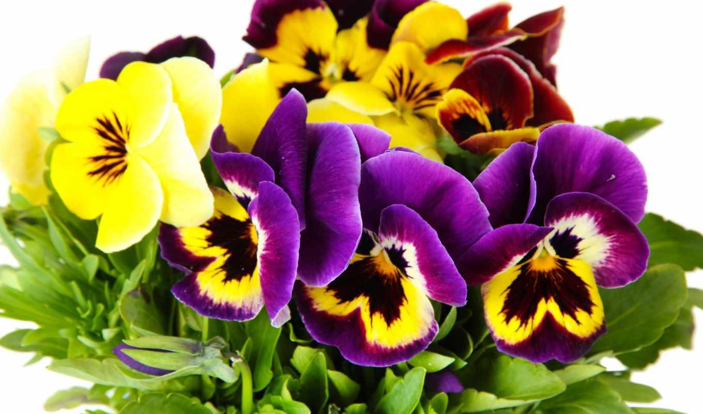 fone, белом, flowers, клипарт, летние, весенние, cvety, анютины, растровый, глазки,