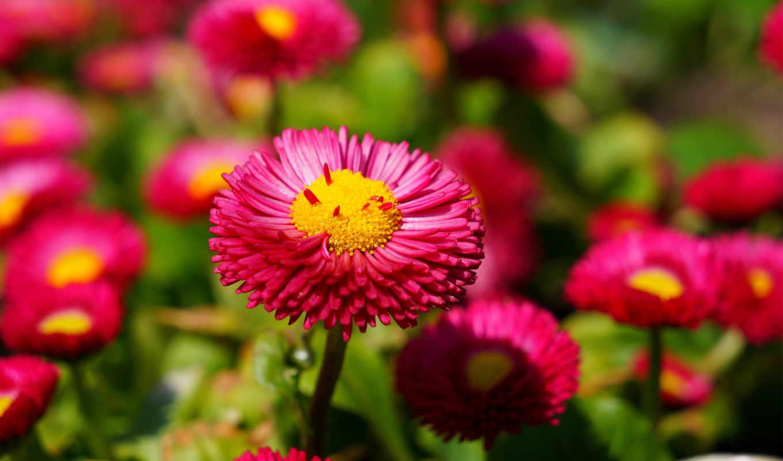 flowers, best, розовый, цветы, widescreen, ultra,