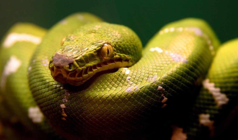 schlange, grüne, зелёный, hintergrundbild, gepunktet, bilder, der, und, desktop,