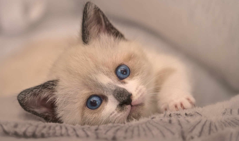 кот, kitty, blue, смотреть, глаз, морда, baby, white, portrait, котенок