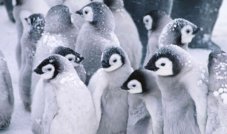 обои, пингвины, животные, от, снег, quot, малыши,
