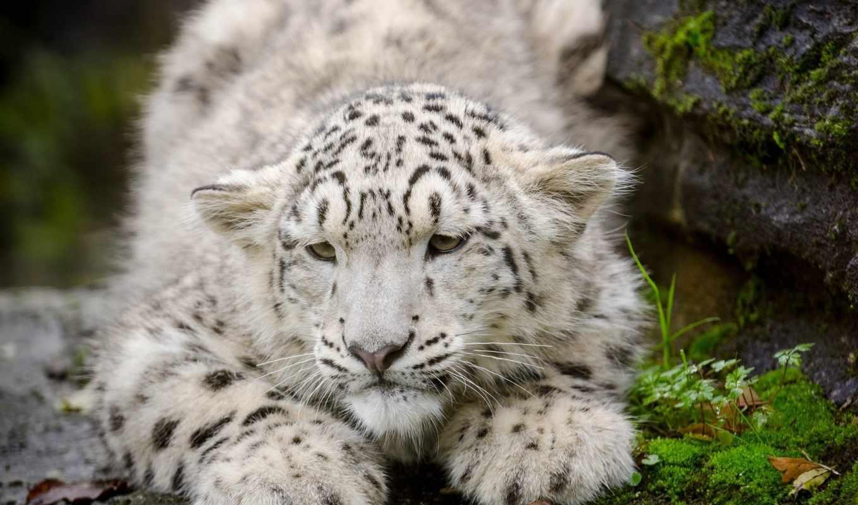 барс, февр, снежный, ирбис, котенок, большие, кошки, кошка,