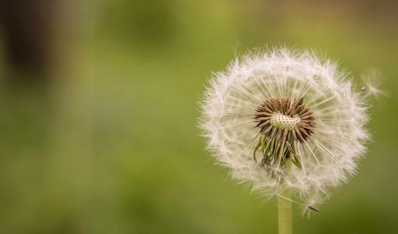 весна, цветы, природа, одуванчик, times,