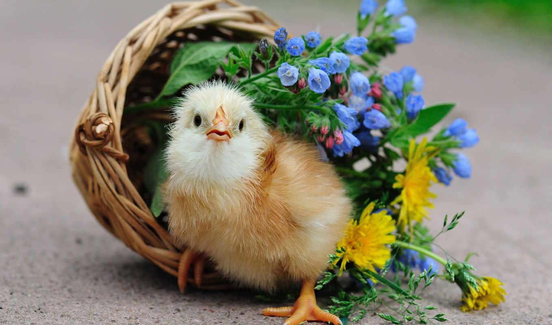 цветы, корзина, птица, курица, цыпочка, корзинке,