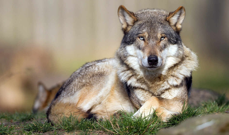 волки, коллекция, нашем, сайте,