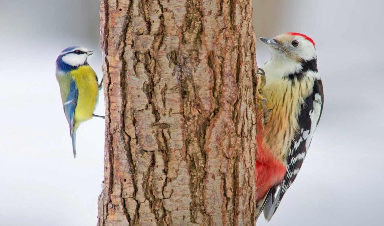 дятел, дерево, птица, tit, природа, animal, два, под, perie, лес, кора
