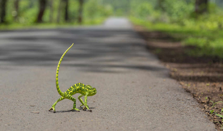 desktop, funny, free, chameleon,