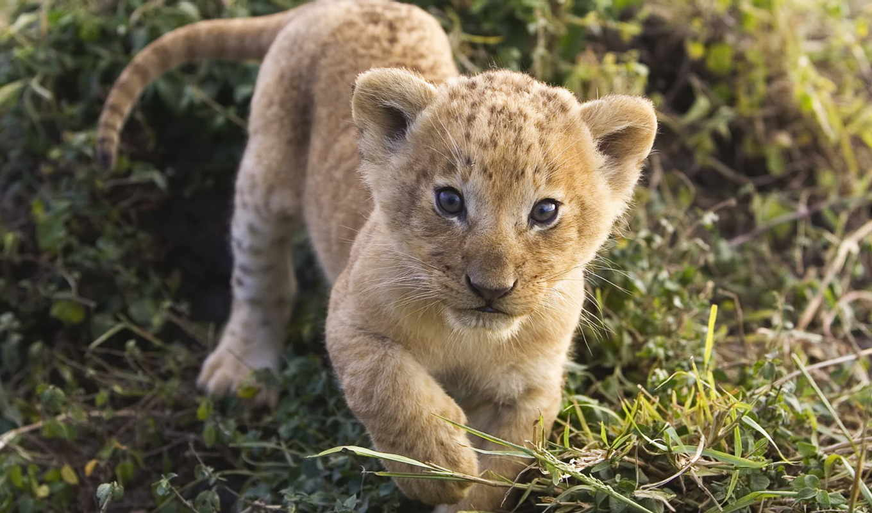 маленький, львенок, zhivotnye, admin, львица, дикие, разных, разрешениях, спящий,