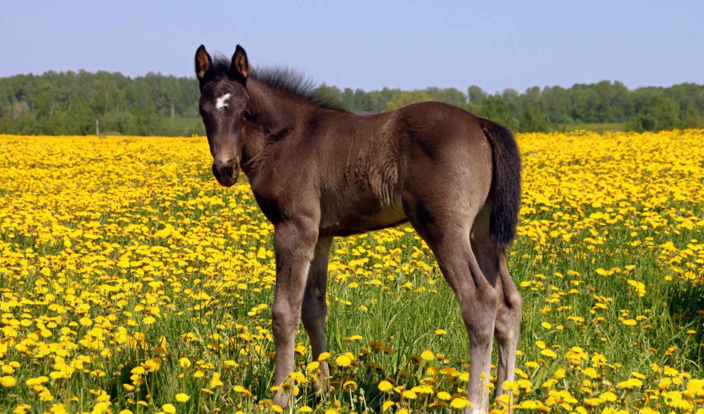 лошадь, жеребенок, поле, одуванчики,
