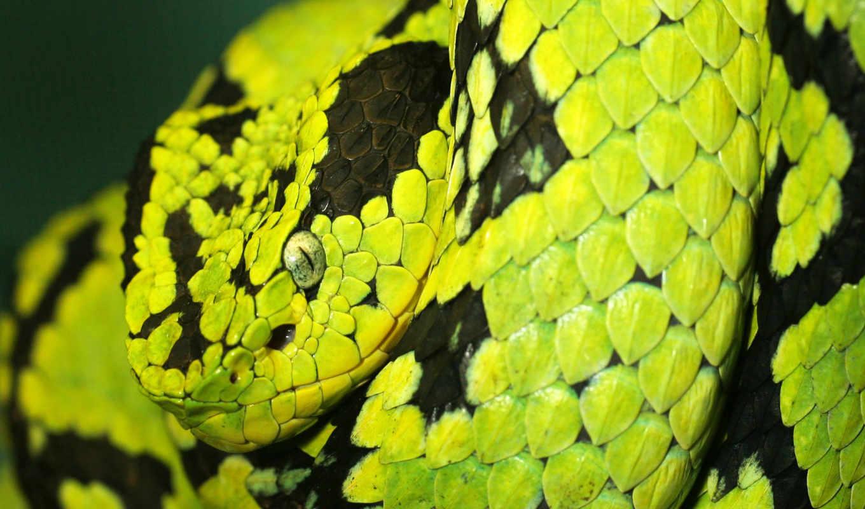 змеи, красивые, snake, python, грозный, zhivotnye,