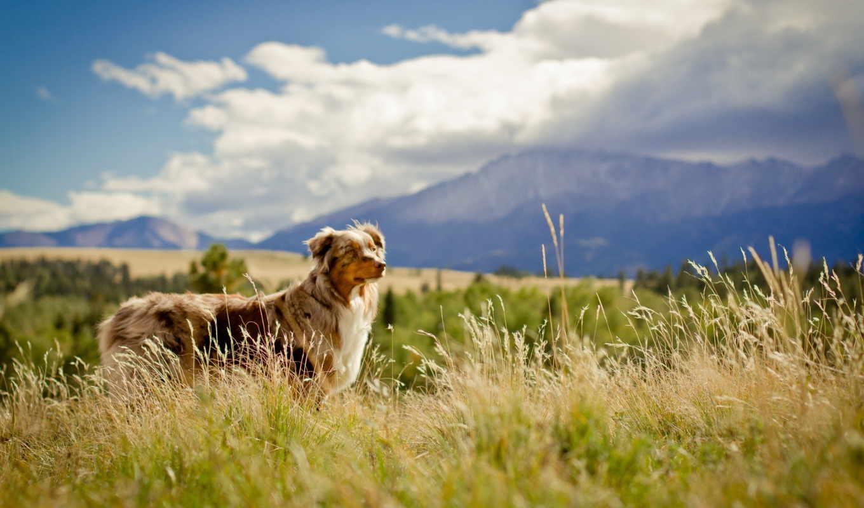 собаки, животные, собака, овчарка, загрузок, просмотров, взгляд, поле,