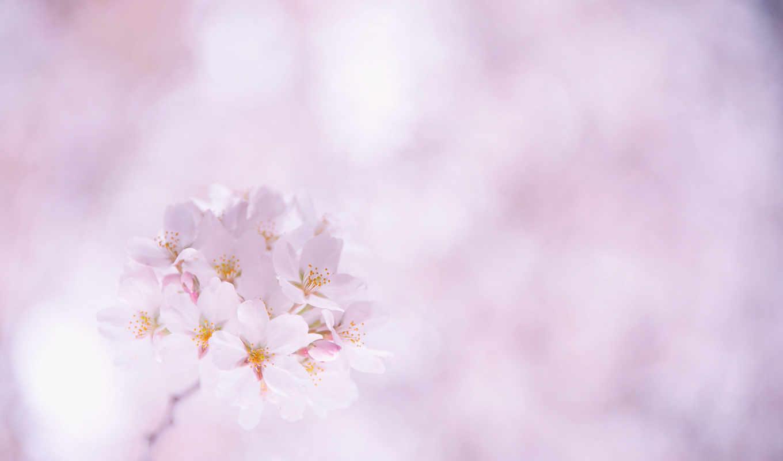 cvety, белые, Сакура, лепестки,