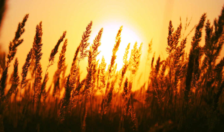 rising, солнца, со, поле, колосьев, переднем, plane, сквозь, пшеницей, красивый,