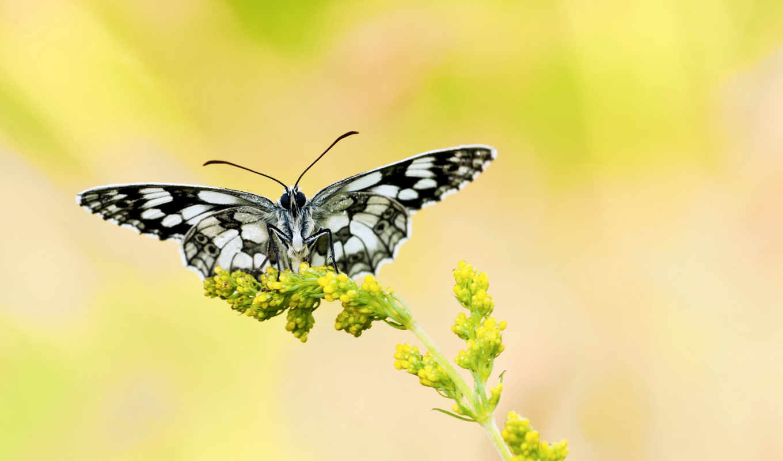 бабочка, yellow, цветы, цветами, чёрнобелая, bell, разных, blue, бабочки, растение,