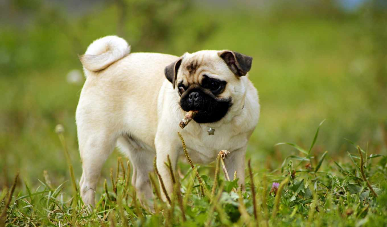 мопс, собака, funny, free, щенок, images,