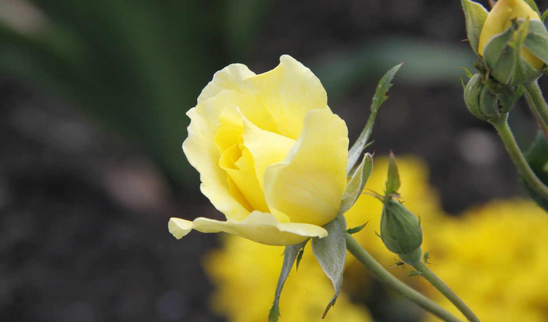 цветы, роза, растение, макро,