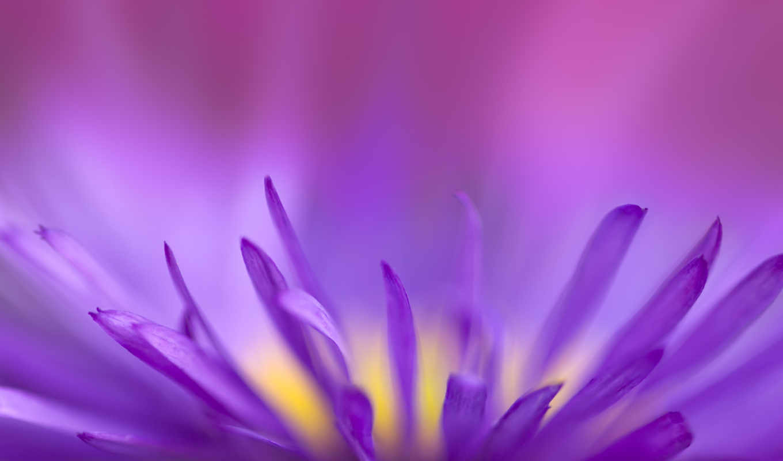 цветы, фиолетовый, великолепные, фиолетовые, свой,