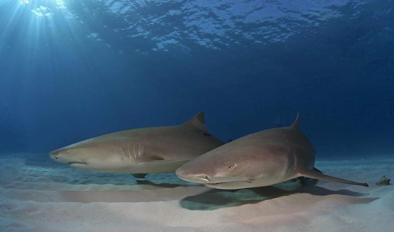 акулы, дно, акула, океан, zhivotnye, городок, глубина, подборка, voda,