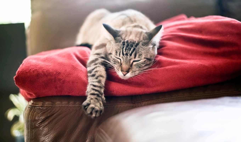 , кот, диван, спит, лапа,