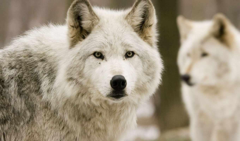 волк, волки, волков, лес,