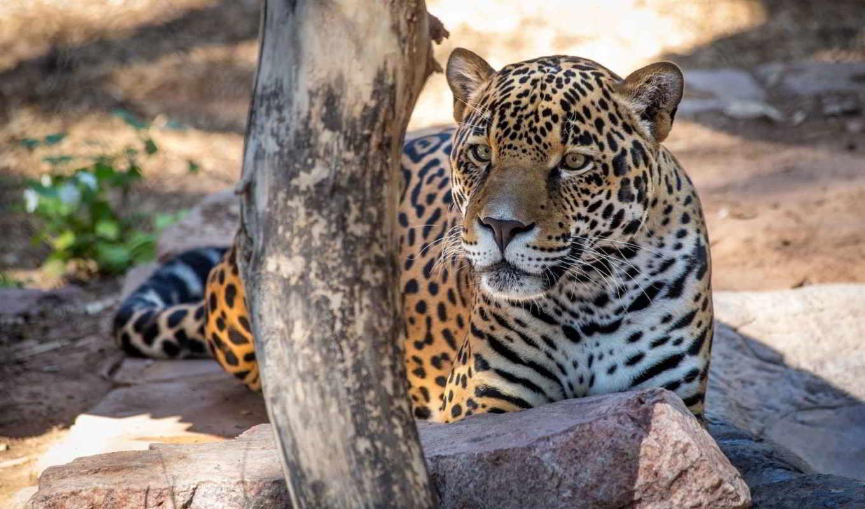 отдых, кот, категории, телефон, zhivotnye, морда, jaguar,
