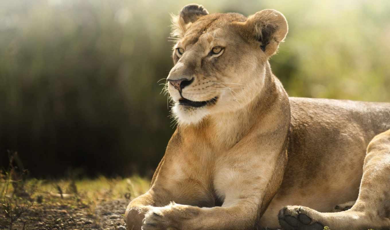 aslan, dişi, travel, tablouri, canvas, world, lion,