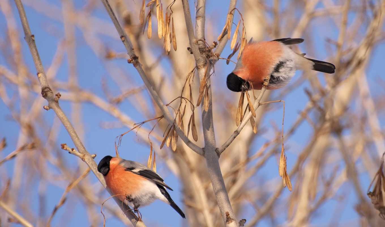 обои, снегири, снегирь, pyrrhula, или, птички, дер