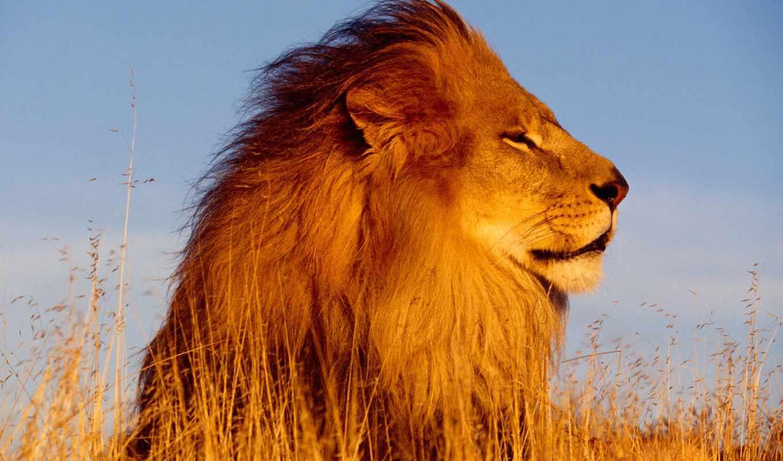 лев, львы, картинок, preview, zhivotnye, свой, desktopwallpapers, коллекция,