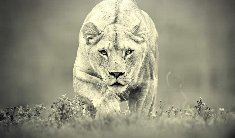 львица, львица, лев, охота, высоком, хищник, хищник, морда,