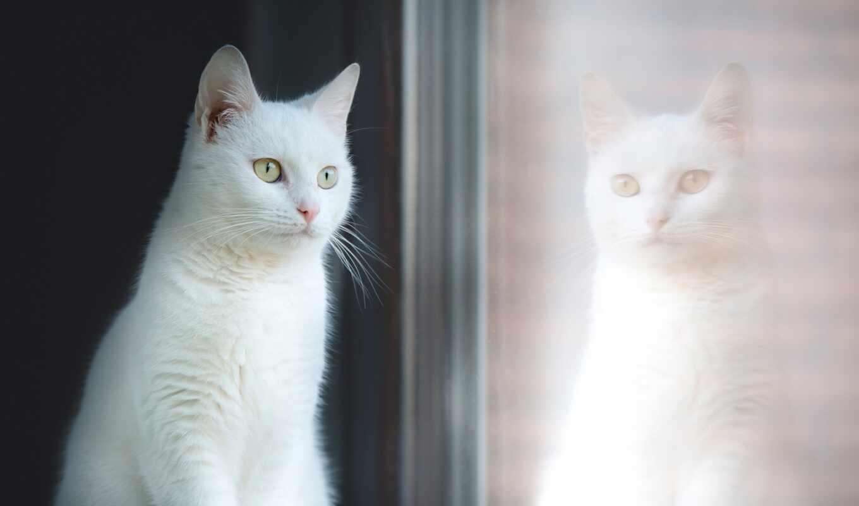 кот, окно, white, отражение, смотреть, сток, взгляд, красавица