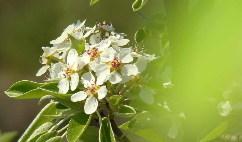 высоком, груша, разрешений, весна, цветки, марта,