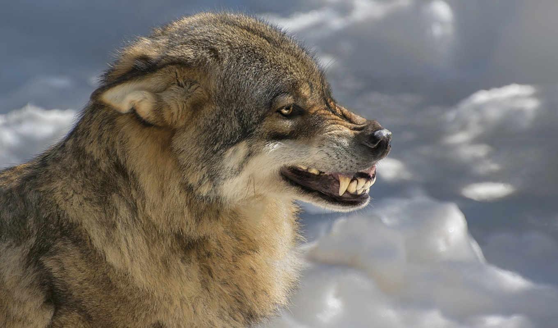 волк, оскал, зверь, хищник, клыки, zhivotnye, волка,