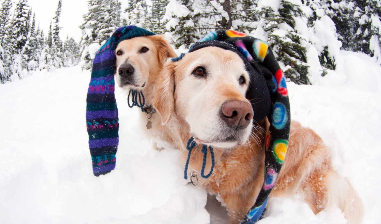 собаки, снег, фото, красивые, животные,