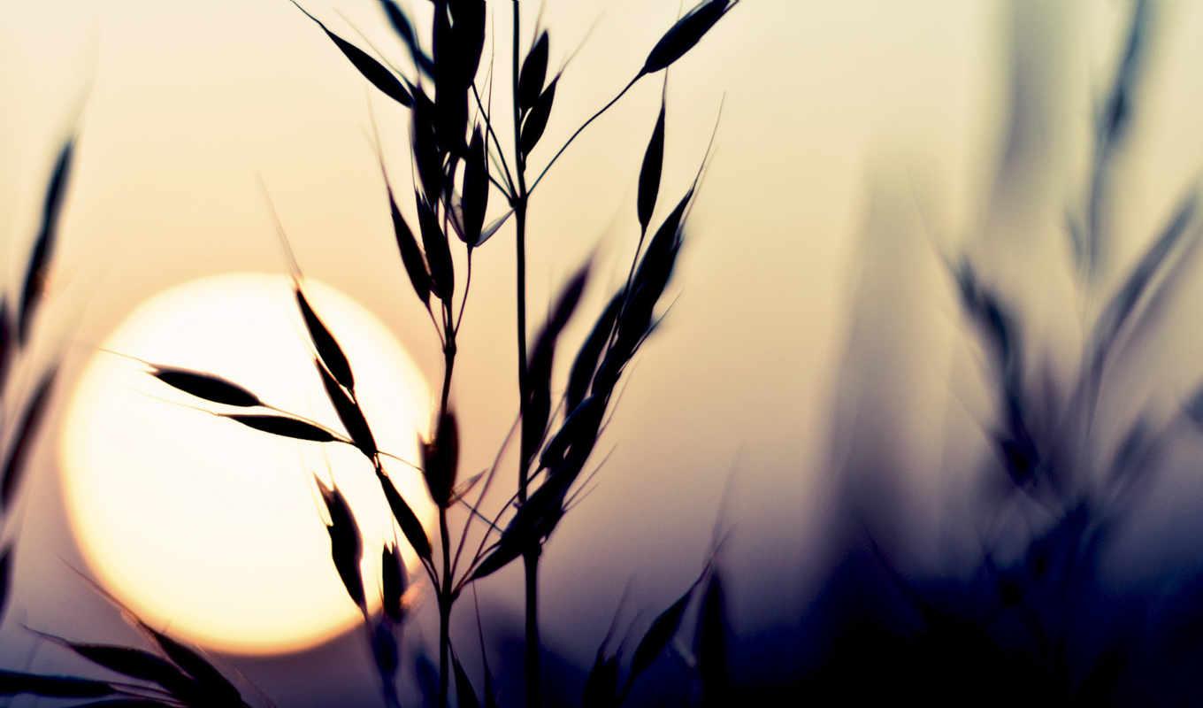 макро, солнце, закат, природа, растение, небо, колосья, колоски, колосок,