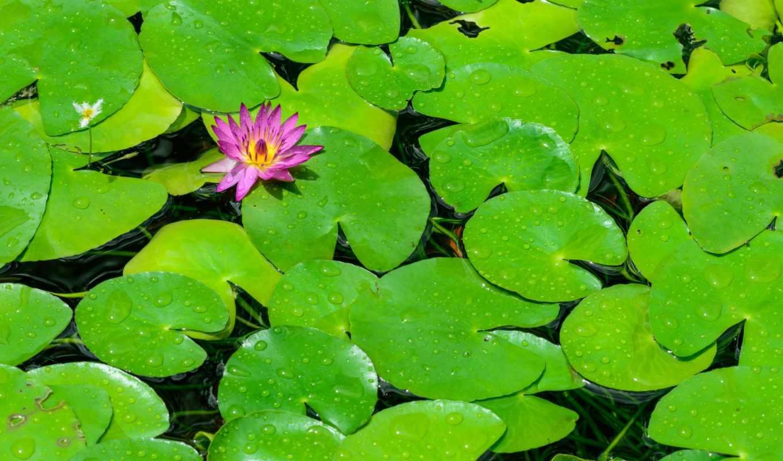 кувшинки, цветок, лотос, вода,