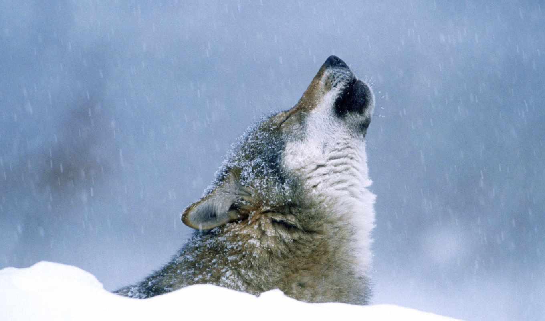 winter, волк, снег, zhivotnye, лес,