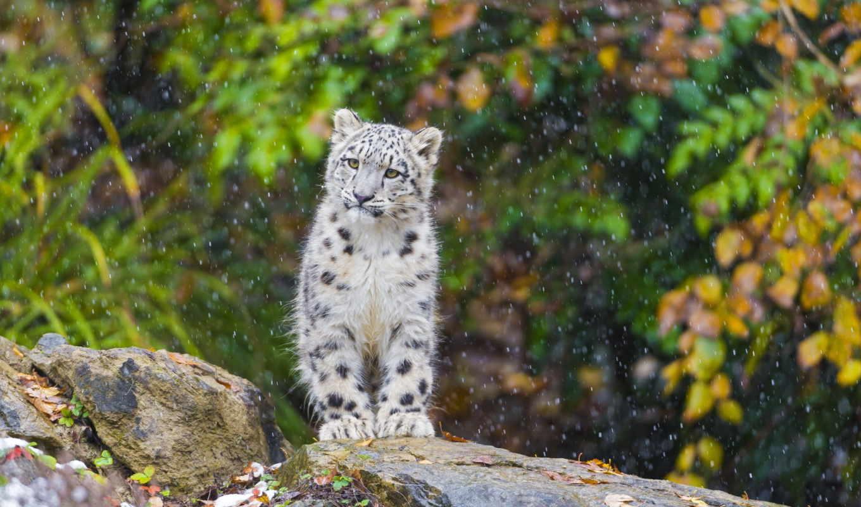 снег, леопард, ирбис, котенок,