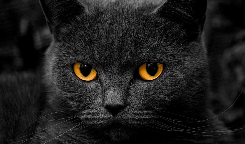 взгляд, красивые, кот, глазами, кошки, котенок, морда, британец, янтарными,