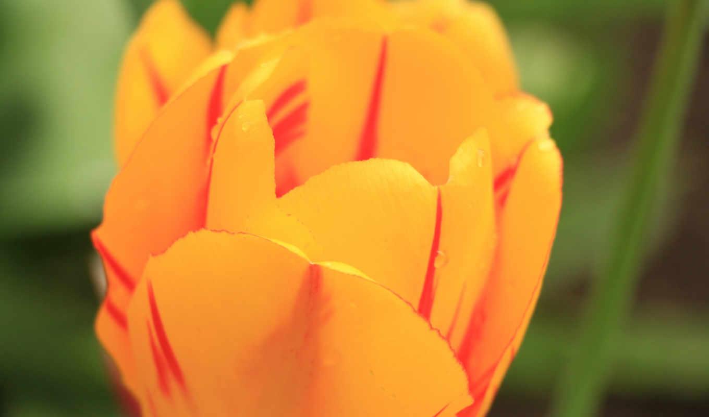 flower, tulip,