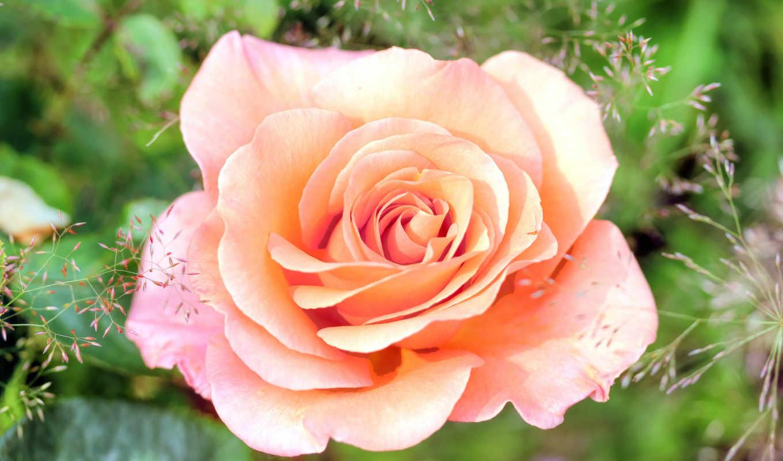розы, широкоформатные, цветы, крупным,