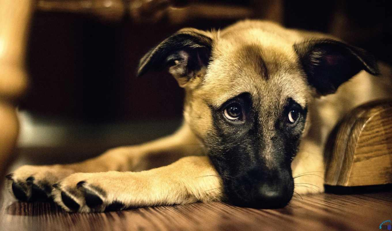 собака, дворняга, собак, грусть, собаки,