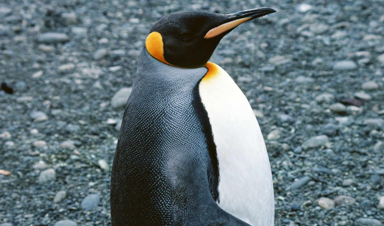 kot, pingvin, пингвины, похожи, этот, пингвинов, изображение,