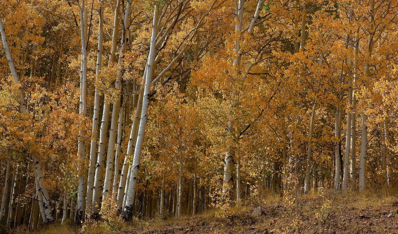осень, березы, природа, лес, деревья,