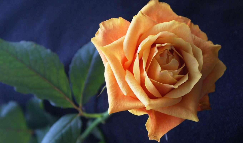 роза, цветы,