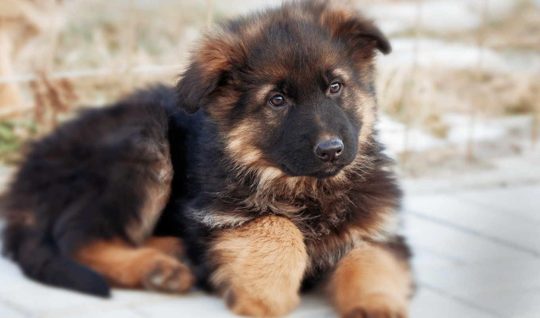овчарка, немецкая, собака, собаки, щенок,