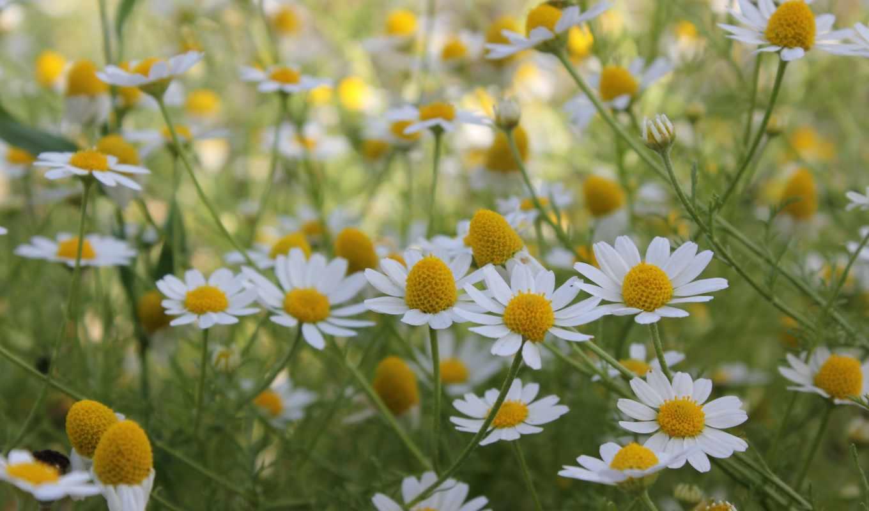 ромашки, цветы, summer, поле,