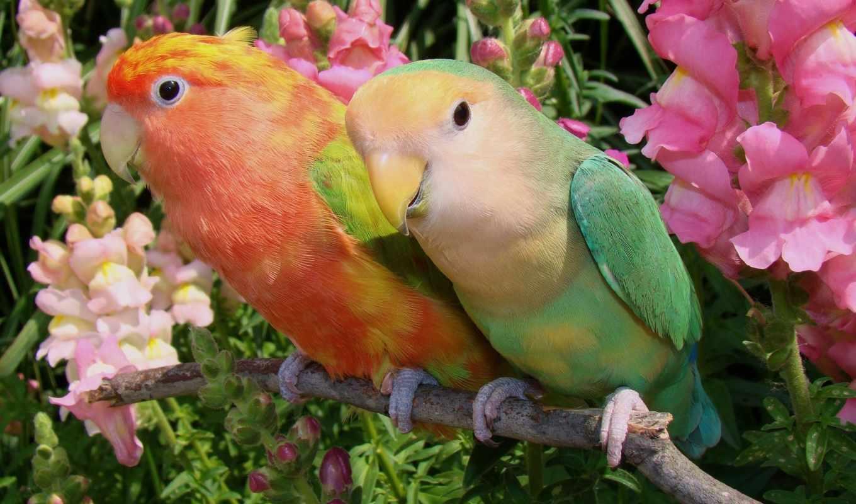 неразлучники, con, agapornis, lovebirds, inseparabili, pappagallini, amor, buenos, días, cotorros, you,