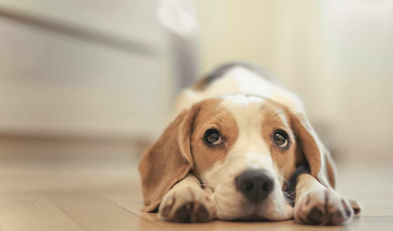 пес, собака, глаза, печаль