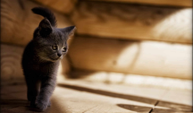 котенок, кот, грустный, серый,